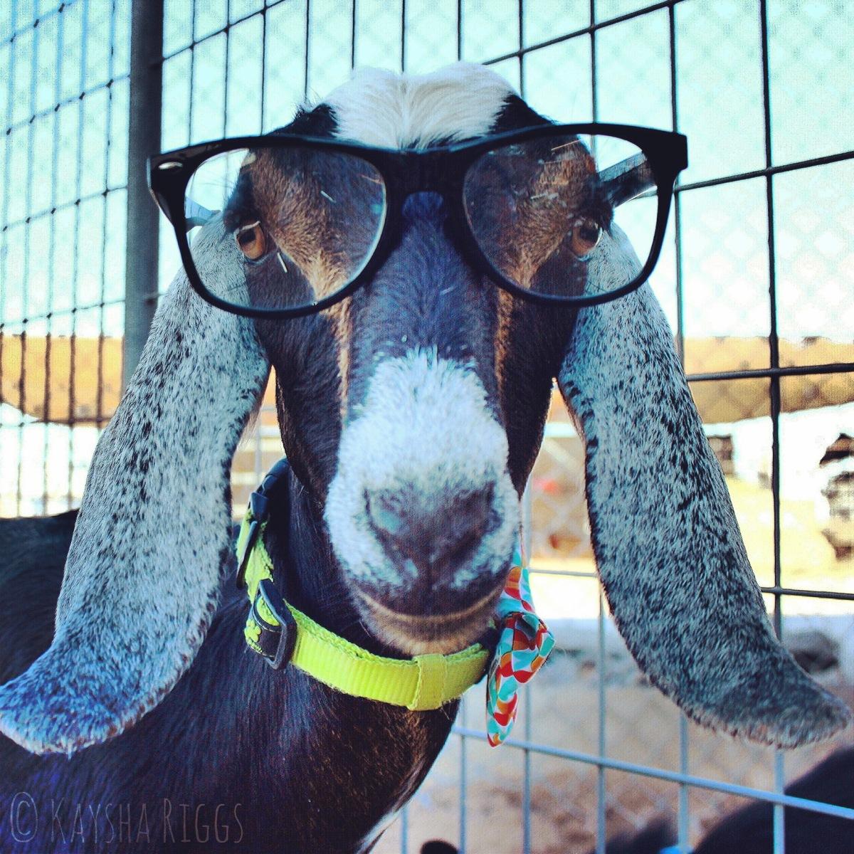 A goat in my backyard? - Poesie Sans, Souci