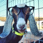 A goat in mybackyard?