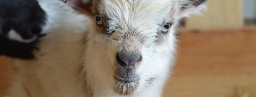 Baby Nigerian Dwarf Goat Birth