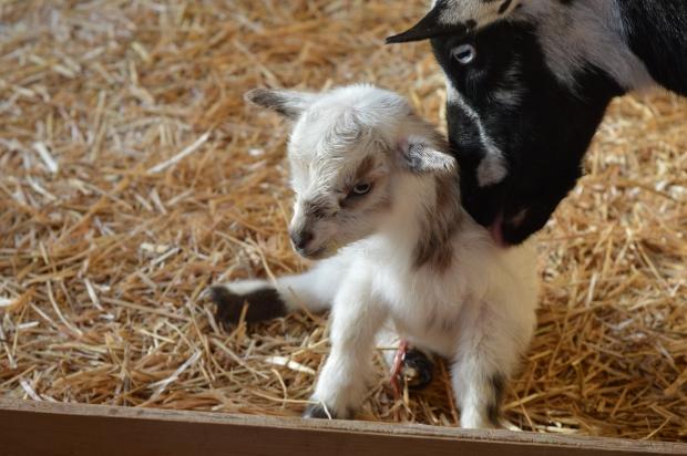 First time goat birth tips Nigerian Dwarf doe