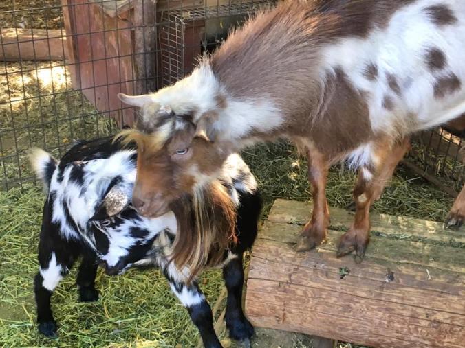 Goat Little Big Guy.jpg