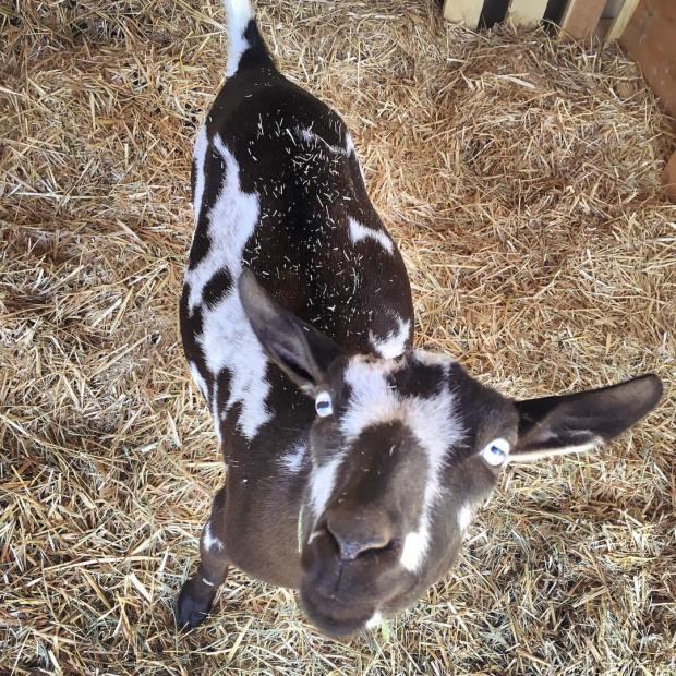 Pregnant Nigerian Dwarf Goat